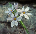 Sisyrinchium campestre - Prairie Blue-eyed Grass
